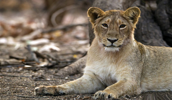 Govt of Gujarat launches Rs.351/- crore project to conserve Gir lions