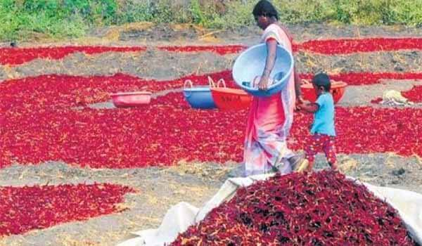 Two-day Unique Chilli Festival began at Kasrawad