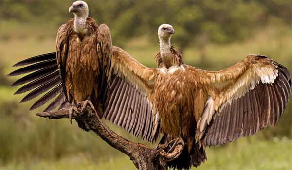 Uttar Pradesh set up state's first vulture conservation at Maharajganj